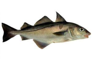 Рыба пикша треска