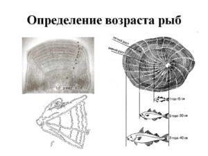 Опыт определение возраста рыбы