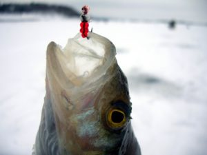 Техника ловли плотвы зимой на мормышку видео