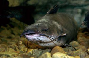 Сомовые рыбы представители