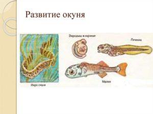 Стадии развития окуня