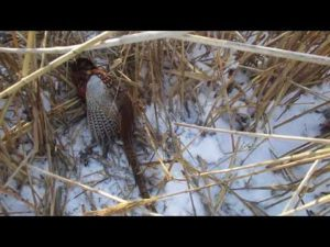 Ловля фазана петлями видео