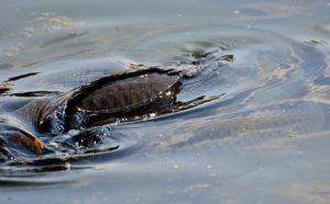 Рыба плавает на поверхности воды