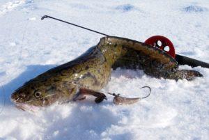 Ловля налима со льда