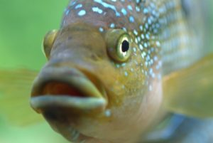 Рыбы пьют воду или нет
