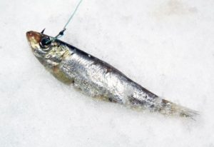 Ловля судака на замороженную тюльку