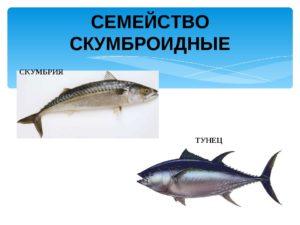 Рыбы семейства скумбриевых
