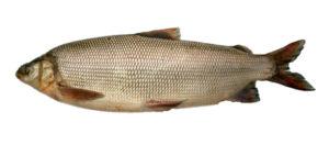 Рыба чир польза