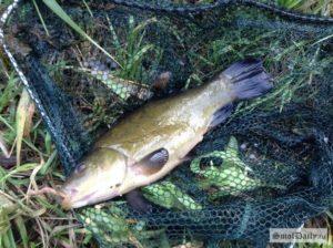 Какая рыба водится в десногорском водохранилище