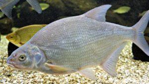 Картинки рыбы лещ