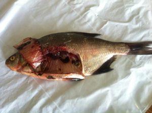 Можно ли есть рыбу из невы