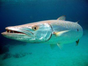 Виды рыб которые водятся в океане