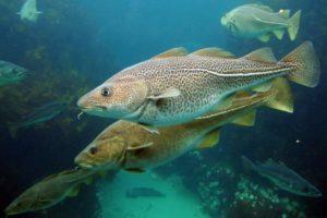 Рыбы северного моря
