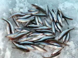 Зимняя рыбалка корюшка