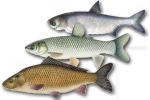 Мелкая рыба семейства карповых