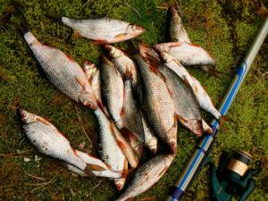 Плотва фото с рыбалки