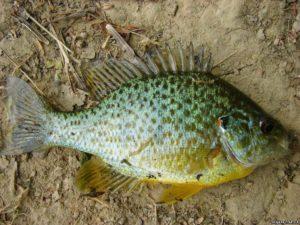 Какая рыба водится на украине