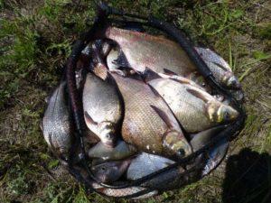 Ловля леща в калининграде