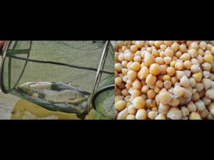 Карп горох или кукуруза