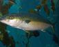 Где обитает рыба лакедра